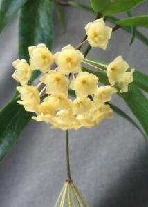 """Hoya blashernaezii,  Rare Hoya, Rooted Plant Shipped in 2.5"""" pot"""