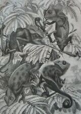 The chameleons.....wood engraving...1860s