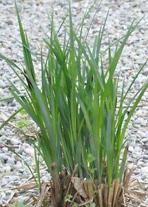 8x Filtersegge  reinigende Teichpflanzen bis 30cm Wasserstand