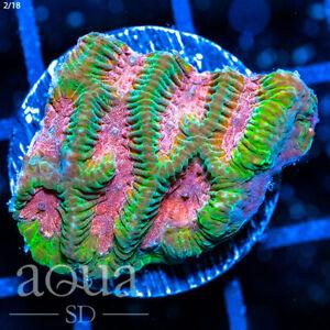 ASD - 002 Watermelon Platy - Aqua SD Live Coral Frag