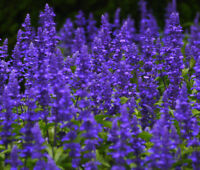 SAGE BLUE Salvia Farinacea - 50,000 Bulk Seeds