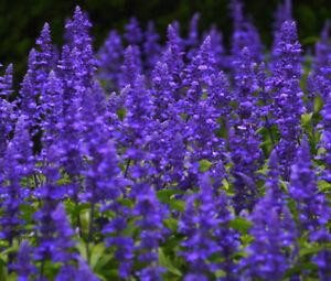 SAGE BLUE Salvia Farinacea - 50,000 Bulk Seeds