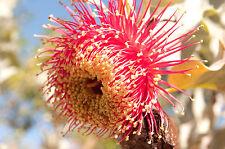 Rose of the West, Mottlecah Seed Huge Flower 5m Shrub, Free Draining Soil