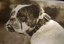 Rotary 1900 photo postcard  Old English Bulldog dog Britisher Huge collar!!