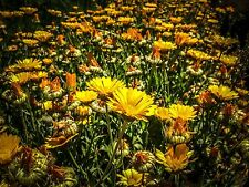 Certified Organic Resina Calendula Flower Seeds (~75): Non-GMO Heirloom Packet