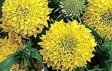 Gaillardia Plume Yellow x 30 seeds. Drought tolerant. Flower. Gift in store.