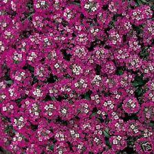 ALYSSUM - Rosie O'Day -  100 seeds