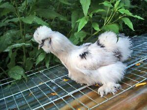 10 (+) Eier weißschwarz-gefl. (kuhbunt) Zwergseidenhühner (keine Bruteier)
