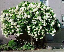 6 Cuttings of Peegee Hydrangea