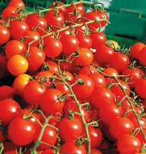 Organic Red Cherry Tomato Small Seed 20ct Excellent flavor USA Produced