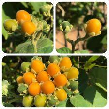 Zwerg-Tamarillo Cyphomandra abutiloides Samtpfirsisch Zwerg-Baumtomate