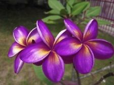 5 Rare Purple Yellow Plumeria Seeds Plants Flower Lei Hawaiian Garden Fragrant