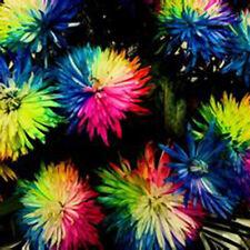 200 Rainbow Chrysanthemum Flower Seeds,rare Special Unique unusual Colorful best