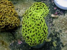 Indo Neon Wall Hammer Colony 4 in -Wysiwyg Live Coral Frag- Coral Savers