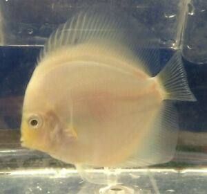"""AAA White Pearl Discus 3""""-3.5"""" Live Tropical Freshwater Fish US Born & Raised"""