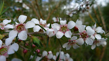 Leptospermum squarrosum Peach Blossom Tree 20 seeds