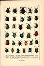 Stampa antica INSETTI COLEOTTERI COLEOPTERA 1893 Antique print insecta 42