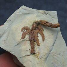 Rare! Furca mauretanica Pos+Neg Marrellomorph arthropod Ordovician