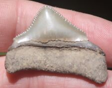 MEGALODON SHARK TOOTH CARCHARODON CARCHAROCLES ST JOHNS RIVER FLORIDA FOSSIL