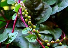 Red Malabar Spinach Seeds/ Non -Gmo /125+ Fresh Seeds/ $4.25/ Free Shipping