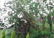 Angel White Lilac ~Pure White~ 6 Stems Branch/Cutting, Bush/Shrub/Tree/Plants