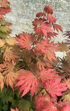 Japanese Maple Acer Ever Autumn