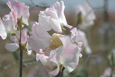 Sweet Pea - Cirrus - 100 Seeds