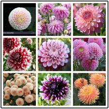 50 PCS Mix Dahlia Seeds Exotic bloom perennial Plant