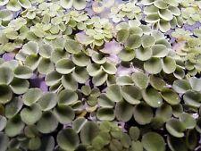 Salvinia Cucullata 10 Plants Floating Fern Asian Watermoss Aquarium BUY2GET1