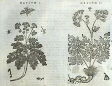 Hinojo Daucum Grabado Botánica Matthioli Mattioli Matthiole Dioscorides