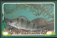 Animals Postcard - Angling - Fishing - Freshwater Fish Series - Perch  A8924