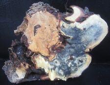 Buckeye burl wood slab #C120  11 x 8 x 2 3/4