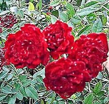 Red Cascade Own Root Garden Ground Cover Rose Live Plant Mini Sweetheart Climber