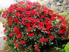 9cm Pot Dwarf Rhododendron Baden Baden Scarlet Red Flowers Garden Shrub Plant