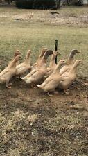 18+ Buff Duck Hatching Eggs