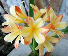 2 Amaryllis Usa Clivia Seeds Hattori Andrew Gibson X Hattori Tyra(Japan)
