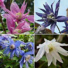 20 Samen Clematis macropetala Mix - Alpen-Waldrebe - Kletterpflanze - winterhart