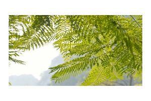 5 Seeds Schizolobium parahybum Brazilian Fern Tree- seed Pack -Multi use