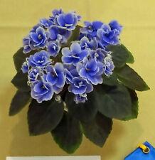 African violet Honey Blue Ace live plant in pot