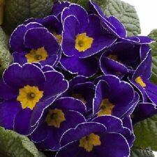 NEW! 15+ MEGAN  PRIMROSE PRIMULA FLOWER SEEDS   PERENNIAL