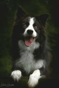 Border collie prints