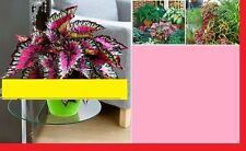 30x Drachen Hybrid coleus Saatgut selten Blumen Samen Pflanze Neuheit #117