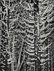 1950s Vintage ANSEL ADAMS Yosemite Winter Snow Trees Landscape Photo Art 12X16