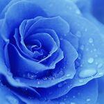 BlueRose23