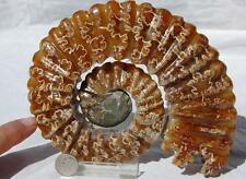 "482x Custom HAND CARVED WHOLE Ammonite Madagascar 110myo Fossil 168mm XXXLG 6.6"""