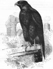 BIRDS. Raptorial. True Kite. Parasite c1870 old antique vintage print picture