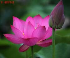 Lotus Seeds Bowl Water Lily Nelumbo Nymphaea Pond Plants Flower Rose Red Garden
