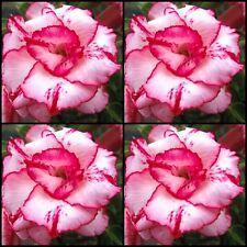 Adenium~Desert Rose < LADY GAGA > Suit Bonsai Indoor~10 SEEDS