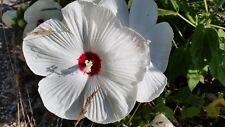 HIBISCUS PALUSTRIS 10 Semi Seeds Ibisco di palude