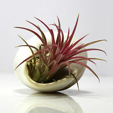 TILLANDSIA Air Plant Kit. Featuring Bright Red Ionantha in Brown Snail seashell